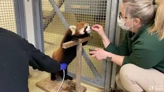 Ultra-Sounding A Red Panda- Toronto Zoo