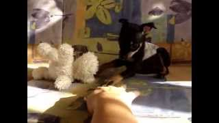 Купить щенка той-терьера. 8-905-546-66-92, мини, РКФ.