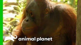 Tensions Rise As Palas Island Orangutans Cause Trouble | Orangutan Island