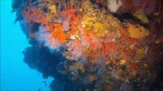 red corals at capo di fonza island of elba - coralli rosso isola d´elba - rote korallen insel elba