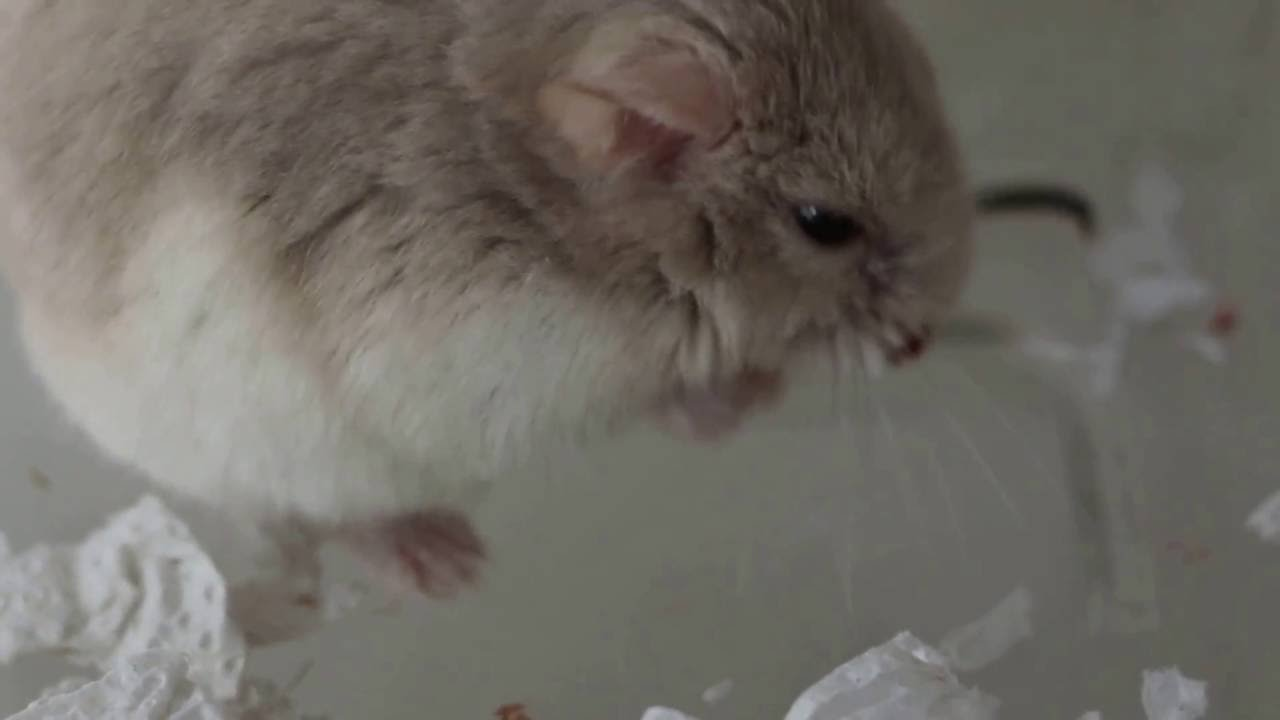 A dwarf hamster has a nose wart cut off using electricity