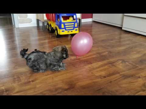 Bolonka Zwetna Welpe spielt mit dem Luftballon