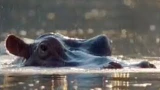 Animal mating rituals of hippos - BBC wildlife
