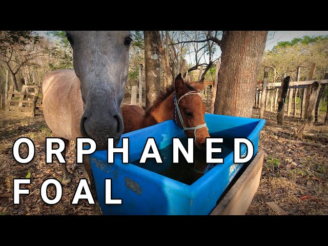 Rearing An Orphaned Foal - First Time Ever & Using Formula 707 Pellets