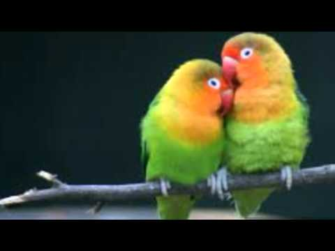 Terapi Burung Lovebird Agar Ngekek Panjang