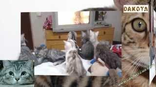 Котята смотрят телевизор   интересное наблюдение   в гостях у бенгальской кошки!