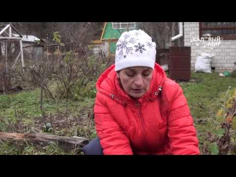 Выращивание абрикоса в Средней полосе Сайт о саде, даче
