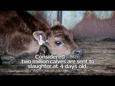 The life of a dairy calf in 60 seconds