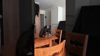 Cat knocks things off 貓推跌東西 #3