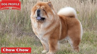 Chow Chow: Everything You Should Know Before Buying