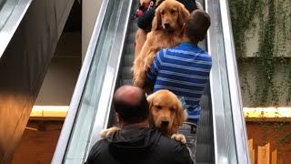 Group of Dog Owners Carry Golden Retrievers Up Escalator