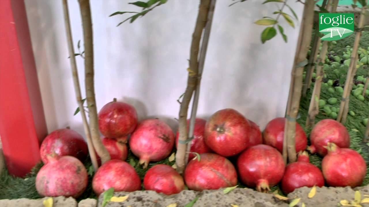 foglie tv agrilevante 2015 vivai spinelli la frutta