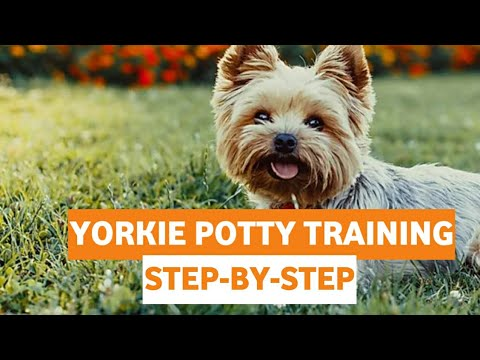 Yorkie Potty Training: Guide To House Train Yorkshire Terriers[STEP-BY-STEP]