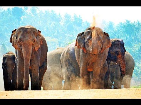 Just Asian Elephants