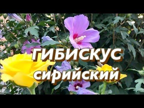 Гибискус сирийский (садовый). Посадка, уход, размножение.