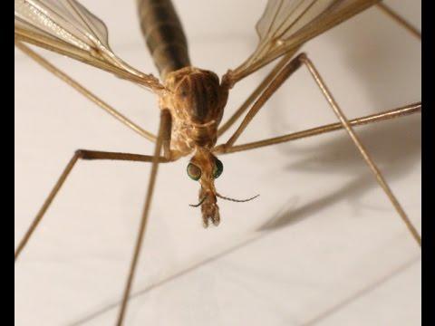 Огромный комар! Поймал! НЕ БОЙТЕСЬ!