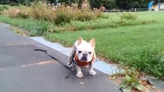 フレブルの老犬タロウ12歳です。 Facebook: https://www.facebook.com/n...
