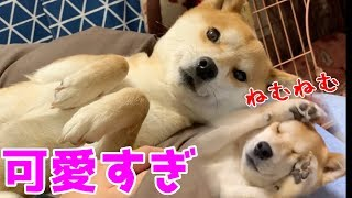 Shiba Inu Griefs Owner Before Bedtime  -- Shiba is cute.--