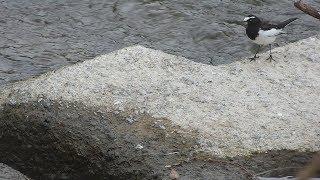 2017年12月31日撮影。2羽のセグロセキレイが餌を探して歩き回り食べているのだと思いますが、追えたのは1羽のみ。動画は時系列ですが、同一個体...