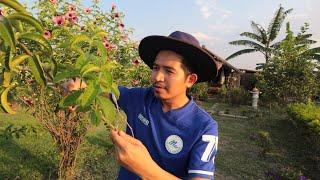 ขยายพันธุ์ ดอกไม้ ดอกบานบุรี สีม่วง ด้วยวิธีปักชำ