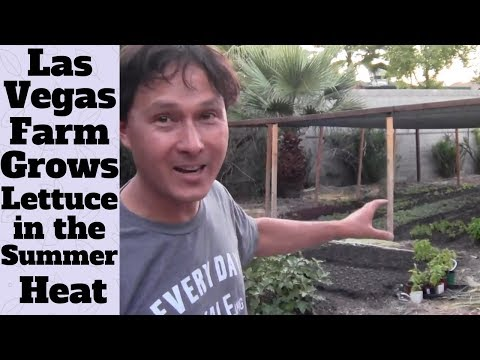 Las Vegas Farm Grows Lettuce in 100 Degree Weather + Urban Farm Tour