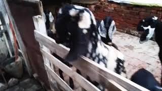 Beatle goat farm in punjab