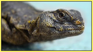 Why Uromastyx are better than bearded dragons