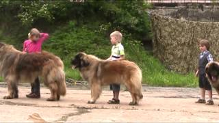 Леонбергер моно Ребенок и собака 2013