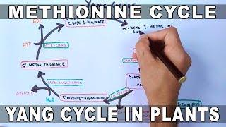 Methionine Cycle or Yang Cycle in Plants