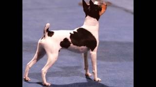 Игрушка   Фокс -Терьер/Toy Fox Terrier (порода собак HD slide show)!