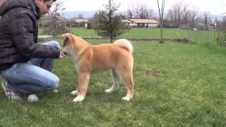 Basic Training Akita Puppy. (addestramento Base Cucciolo Akita)