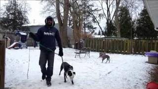 Part 2 Severe Dog Aggressive Soicalization | Majors Academy Dog Training And Rehabilitation