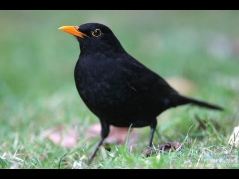 Chant du merle noir au printemps turdus merula common for Oiseau noir bec orange