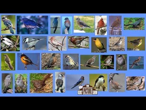 North American Songbirds - The Kids' Picture Show (Fun & Educational Learning Video)