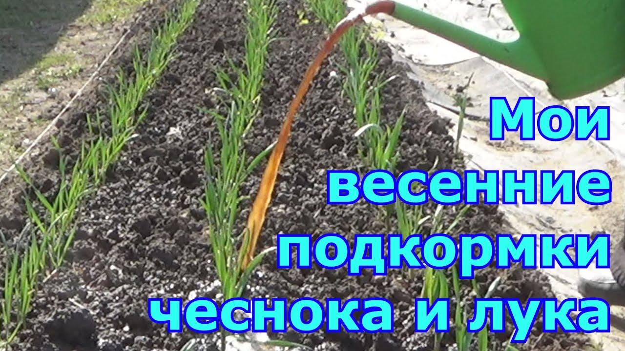 Мои весенние подкормки чеснока и лука. Чем и когда подкормить для большого урожая. Особенности ухода