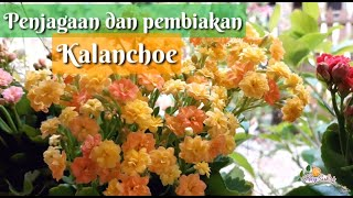 Download Mp3 Tips penjagaan Kalanchoe dan pembiakan Kalanchoe Blossfeldiana plant care and breeding