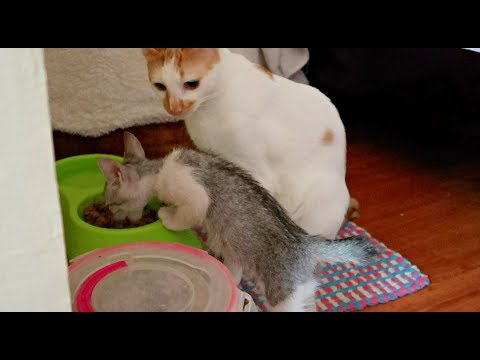 ✰SIBLING RIVALRY: Bringing New Stray Kitten At Home ❤ *AMAZING*