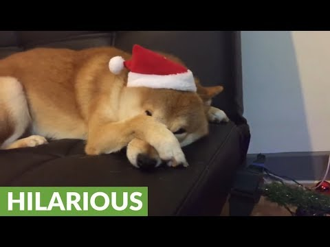 Cat embarrasses Shiba Inu after knocking over Christmas tree