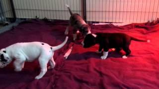 Kiri X Nikita Great Dane Puppies 26 Days Old Litter 2015