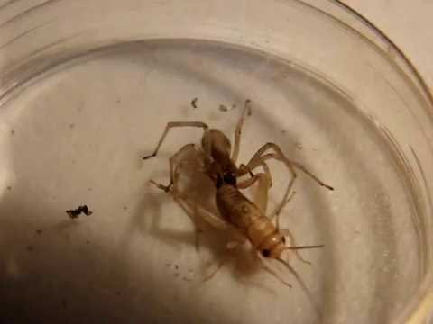 What Do Wolf Spiders Eat >> Wolf Spider Eat Cricket Youtube