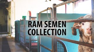 How to collect ram semen