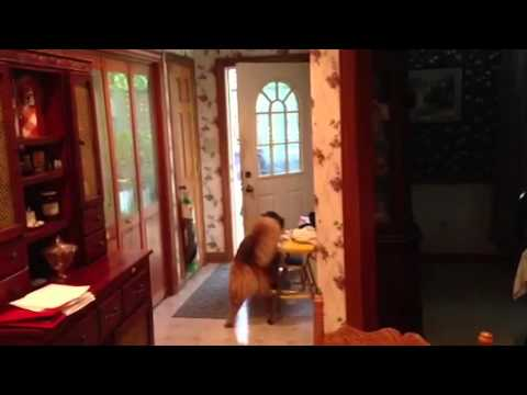 Smart Dog Opens and Closes the Door