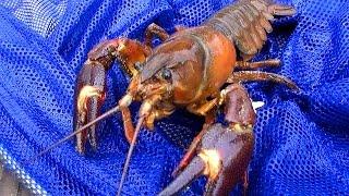 【ザリガニ釣り】謎の巨大ザリガニが爆釣!!【ウチダザリガニ】 Signal crayfish fishing thumbnail
