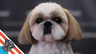 Shih tzu haircuts  How to make a round head