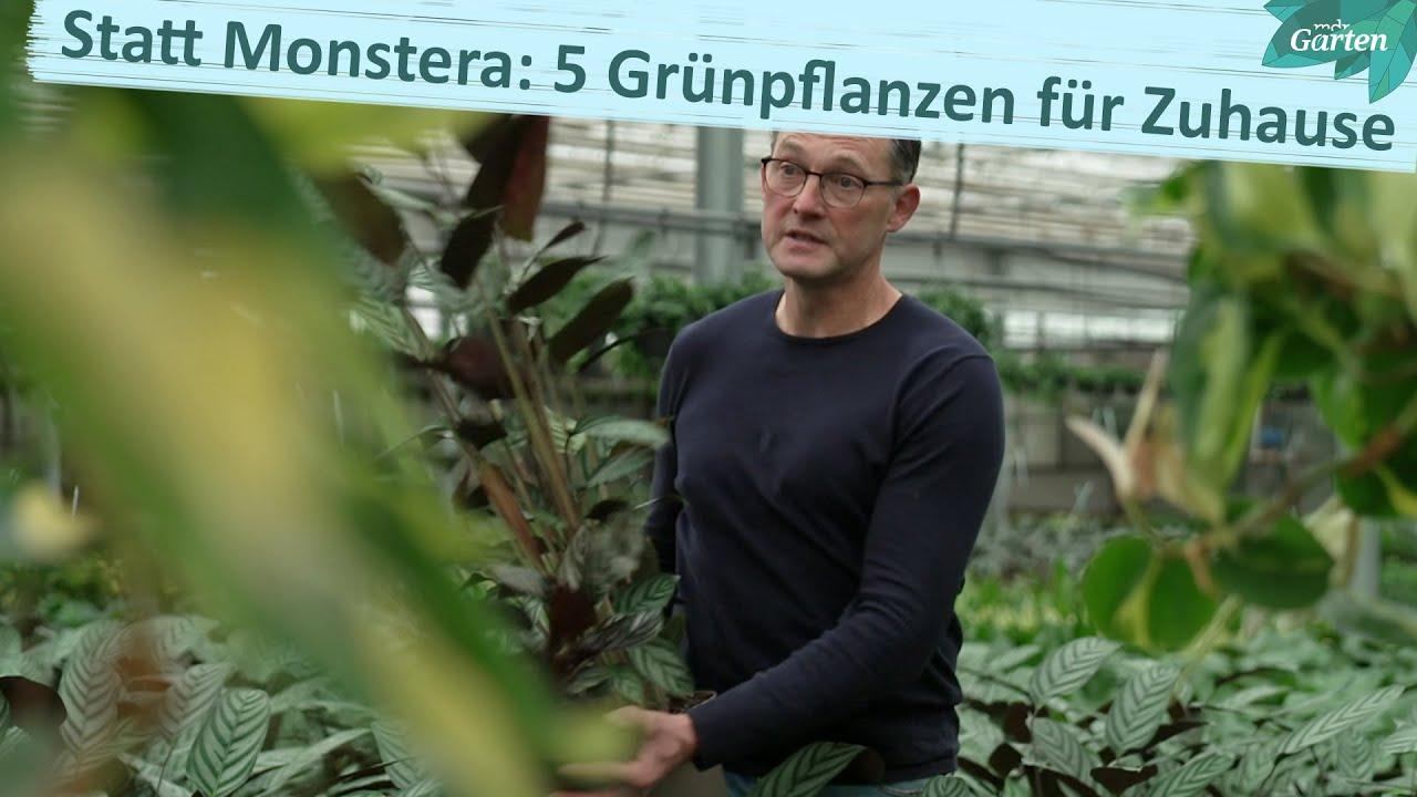 Alternativen zur Monstera: Schöne Grünpflanzen für den Dschungel im Wohnzimmer | MDR Garten