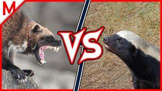 Wolverine vs Honey Badger | ANIMAL BATTLE (+Lynx vs Snow Leopard winner)