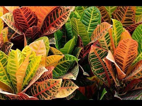 549 - Complete Information -How to grow n care Croton Plant/ क्रोटन पौधे पर पूरी जानकारी-कैसे लगाएं