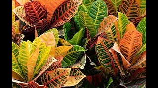 Category:Croton (plant) - WikiVisually