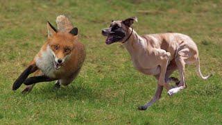 صيد الثعالب بكلاب السلوقي بالمغرب  La Chasse du Renard aux Chiens Courants / Fox Hunting