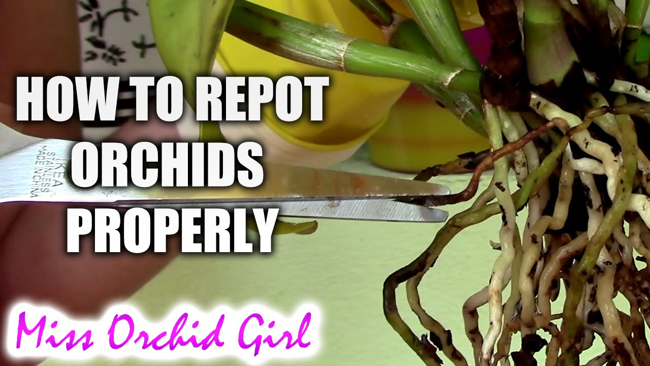 orchid maintenance 2 2 how to properly repot orchids youtube. Black Bedroom Furniture Sets. Home Design Ideas